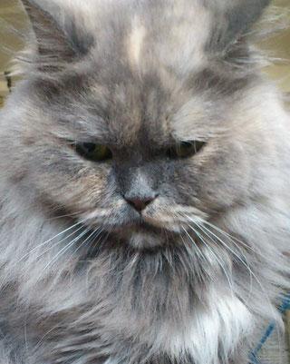 Blue-cream-smoke Katze mit schmalem silberfarbenen Haaransatz, Foto: Christiane