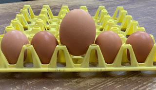 大きすぎて卵用コンテナに入りません…。