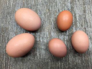 新人さん卵。大きいのは双子!