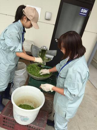 大量の万願寺とうがらしを餌用にカットする大学生たち
