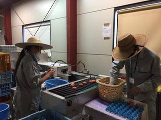 卵を選別する機械に流す作業。初めてだからおそるおそる!