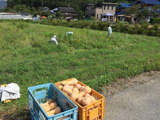 エサ用バターナッツ収穫です!