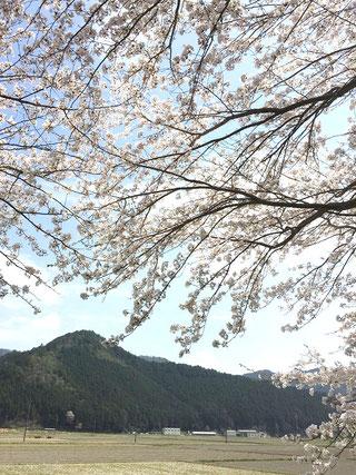 桜の下の奥に見えるのは事務所&鶏舎