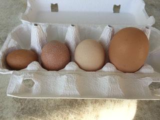 いつも見ているMLサイズ以外にも、こんなにいろんな卵を産むのです。