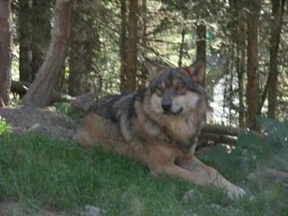 Parc Alpha, les loups en liberté, massif mercantour, Homelocation-sylvie.com