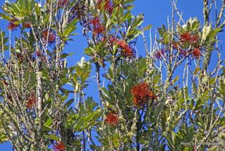 レワレワの木