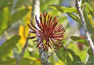 レワレワの花