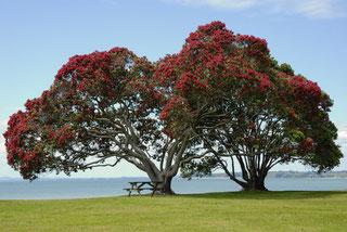 満開のポフツカワの木