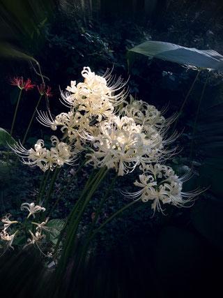 いまなら関東地方では珍しい「白い彼岸花」を見ることもできるよ♪