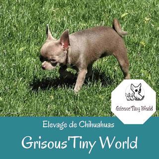 Chihuahua lavande