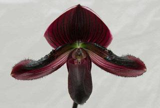 Orchidee Frauenschuh Paphiopedium in Wien kaufen