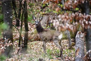 location-chalet-landes-octobre-brame-cerf