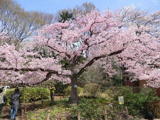 ●さらに歩いて「さくら園」へ。神代曙がちょうど見ごろでした