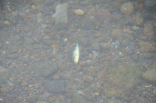 一丁上がりの小魚