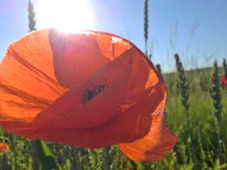 Mohn Blüte Mohnblüte Klatschmohn klatschmohnrot mohnrot rot Gegenlicht Sonne Feld Wiese Spaziergang Fotografie nervenkeks