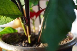 Weihnachtsstern Zimmerpflanze