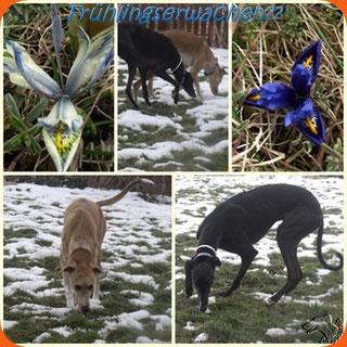erste Anzeichen von Frühling  & meine 2 beim Leckerchen suchen:)