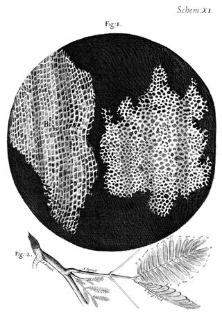 Dessin effectués par Hooke de l'écorce d'arbre. On remarque la position de chaque cellule. Source : wikipédia.