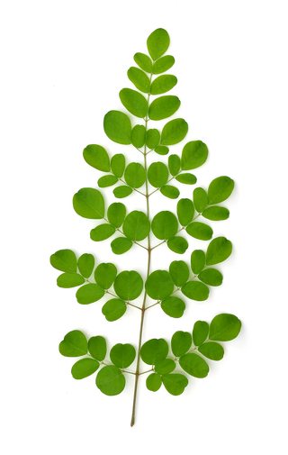 Feuilles de moringa oleifera