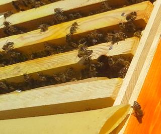 Rahmen, Bienen im Stock