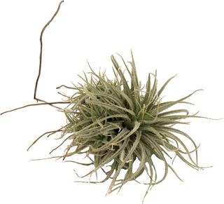Tillandsia tectorum Fuzzy