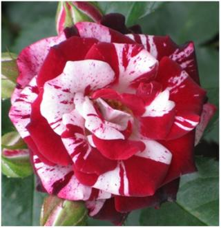 сорт розы Флеш Найт
