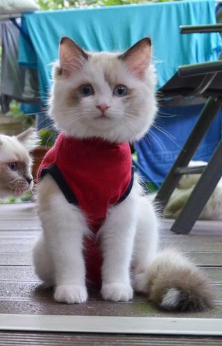 Kastrierte Ragdoll Kitten Body