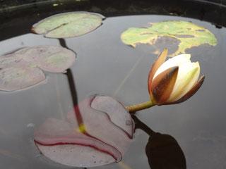 Nymphaea Clyde Ikins Seerosenblüte