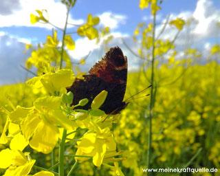 Schmetterling im Rapsfeld, Kraftquelle, Frühling