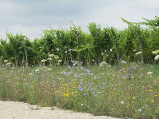 organic and biodynamic vineyard