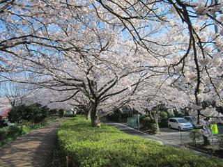 ふるさと尾根道緑道の桜