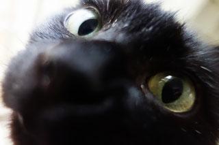 猫ののこアップ;猫と人,nekotohito,ネコトヒト