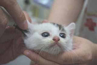 猫あこ(現まお)診療中の画像;猫と人,nekotohito,ネコトヒト