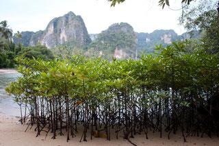 Rote Mangrove Rhizophora mangle Küste