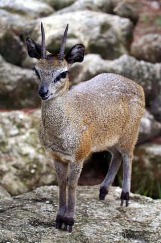 Oreotrago, Saltarupi o Klipspringer (Oreotragus oreotragus)