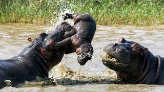Femmina di ippopotamo cerca di difendere il suo piccolo da un maschio adulto della sua stessa specie