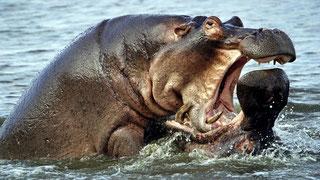 Ippopotami mostrano la loro aggressività