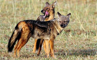 Sciacallo striato (Canis adustus bweha)