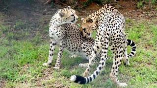 Coppia di ghepardi