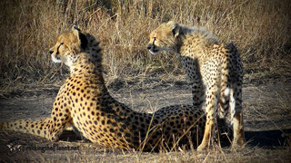 Ghepardi. Riserva Masai Mara, Kenya