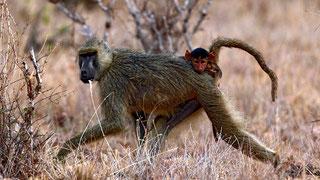 Primati - Babbuino con cucciolo