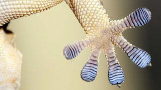 Zampa del geco