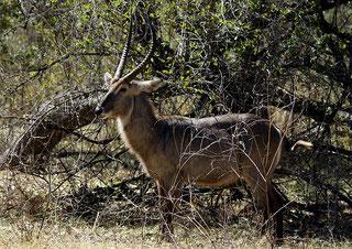 Cobo maschio (Kobus ellipsyprimus)-