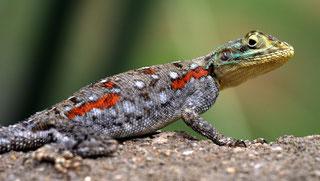 Femmina Agama comune, Agama delle rocce testa rossa o Agama arcobaleno (Agama agama)