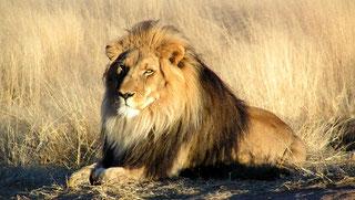 Leone ( Panthera leo ) in Namibia. La piattaforma fotografica e di osservazione è a circa 25m di distanza.