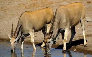Eland (Taurotragus oryx).