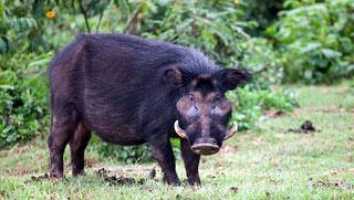 Ilocero gigante - Giant Forest Hog (Hylochoerus meinertzhageni)