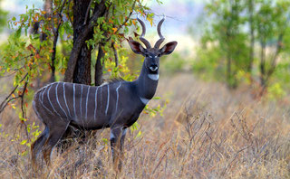 Kudu (o Cudù) minore (Tragelaphus imberbis)