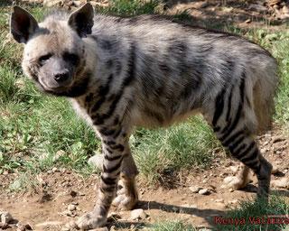 Iena striata (Hyaena hyaena)
