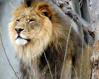 La criniera è una caratteristica dimorfica fondamentale nei leoni